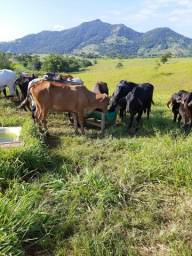 Vacas finas 270 arroba