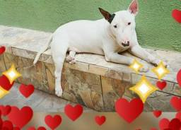 Bull Terrier para CRUZO