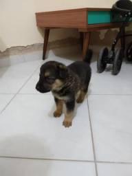 Vendo cachorro pastor alemão