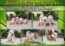 Bulldog inglês com pedigree e no padrão!!