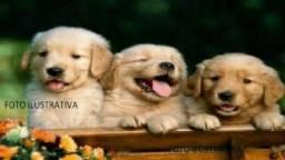 Golden Retriever Macho Puros, Vacinados e Vermifugados -Meu WhatsApp (86) 99465-4263 !!
