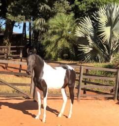 Cavalo pampa Campolina marchador registrado