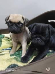 Vende-se Pug fêmeas com pedigree.