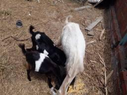 2 cabras e um Bode !