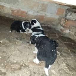 Vendo lindos filhotes de Border Collie