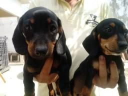 Filhotes de Dachshund (salsichinha miniatura)