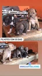 Filhotes Pit Bull Terrier