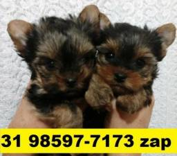 Canil Premium Filhotes Cães Pet BH Yorkshire Maltês Beagle Lhasa Basset Shihtzu Poodle
