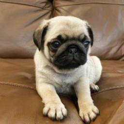 Filhotes de Pug Já Disponíveis