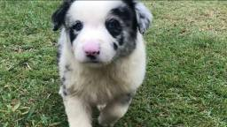 Border Collie blue merle/red merle/preto e branco/chocolate !