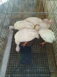 2 Angolinhas brancas com 3 mês de vida