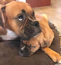 Boxer Filhotes Super Lindos
