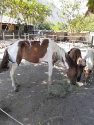 Égua - 3 anos e meio