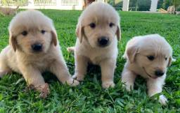 Filhotes Golden