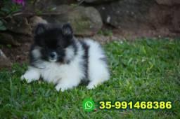 Lulu da Pomerânia-lindos Filhotes