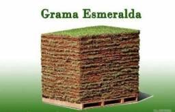 Grama Esmeralda - Direto do produtor