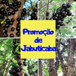 Jabuticaba produzindo