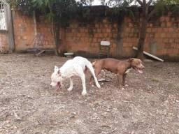 Filhotes Pit bull 31 dias
