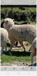 Quatro ovelhas três texel e uma merino