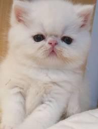 Filhote de gato persa macho puro.Entrego em Joinville,Camboriu.etc