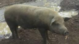 Vendo porco caipira