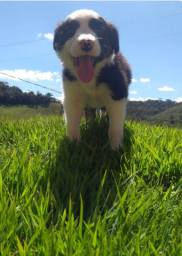Border collie campos