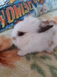 filhote mini coelho