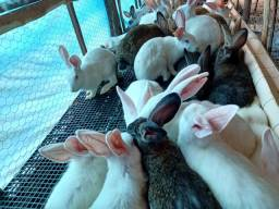 Lote coelha Nova Zelândia para matriz 90 dias