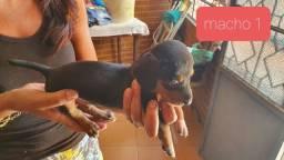 Filhote de basset dachshund ( salsichinha)