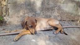 Cãozinho 4 meses doação ! Macho