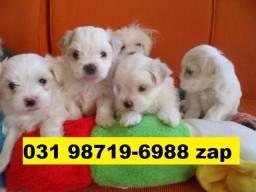 Canil Cães Filhotes BH Maltês Lhasa Poodle Yorkshire Basset Shihtzu Bulldog