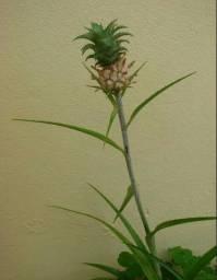 Muda De Mini Abacaxi Ornamental Para Vasos canteiros. Acabamdo