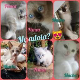Adoção lindos gatinhos