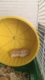 PROMOÇÃO!! Compre 2 leve 3. Vende se hamster anão russo olho vermelho!!