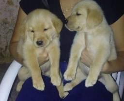 Filhotes de golden retriever misturado com labrador ( pais puros )