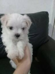 Cachorro Maltês para Vender