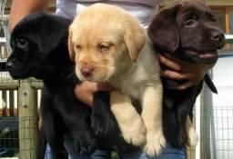 Labrador Amarelo, Preto e Chocolate 50 dias vacinados!!!