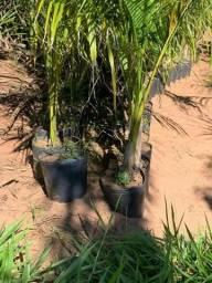 Título do anúncio: Vendo muda planta palmeira imperial