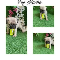 Pug lindos com pedigree