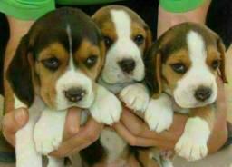 13 Polegadas Beagle Mini Filhotes com Pedigree !!!