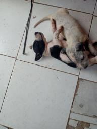 Filhote de pitbull com vira_lata barato
