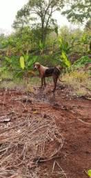 Foxhound americana urrador