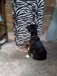 Vende-se labrador com rottweiler  femia