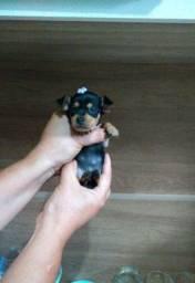 Filhotes de pinscher miniatura