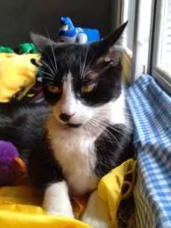 Doação lindo gato frajola curte o bigodinho e já castradinho