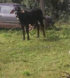Vendo um terneiro e um touro