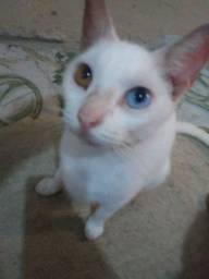 Estou doando esses 2 lindos gatos de olhos bicolor