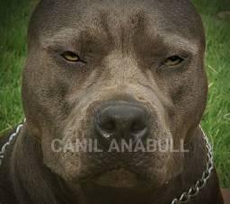 Sorteio Anual do Canil Participe American Bully Cinza - Pitbull