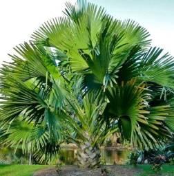 Palmeira Talipot