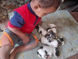 Filhotinhos de Poodle